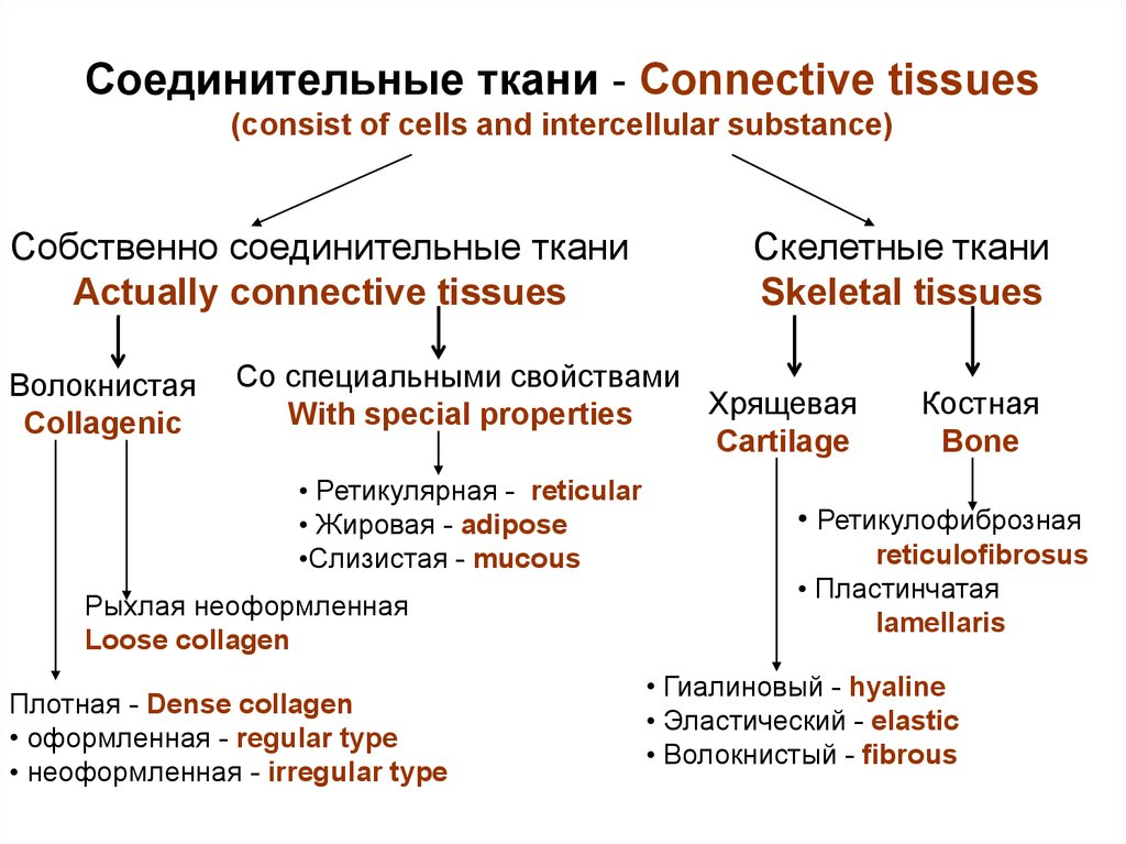 Соединительные ткани - Connective tissues (consist of cells and intercellular substance)
