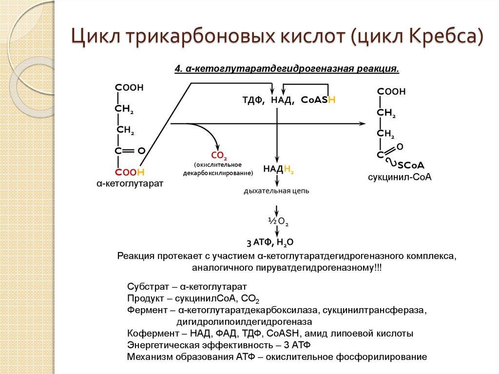 Ферментативного конвейера цикла кребса фольксваген транспортер 2020 г