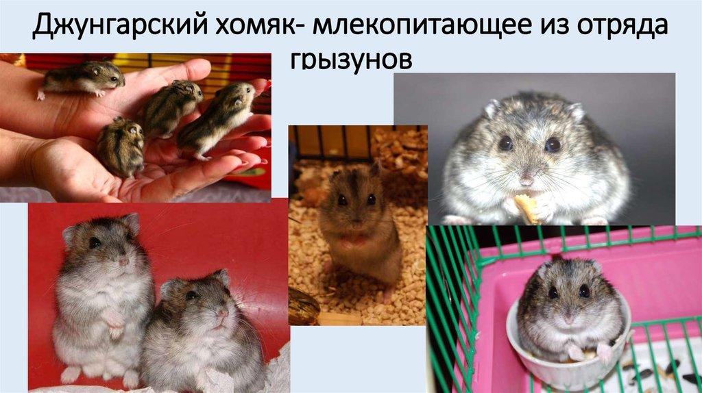картинки джунгарских хомяков с описанием