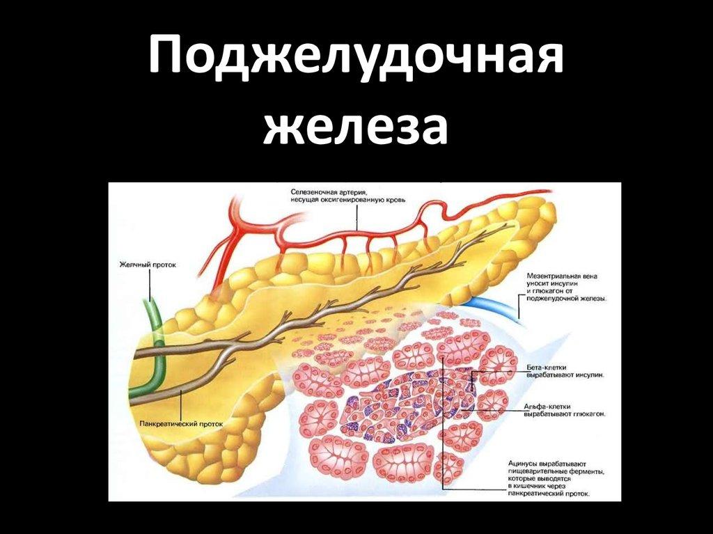 Какие клетки поджелудочной железы вырабатывают инсулин
