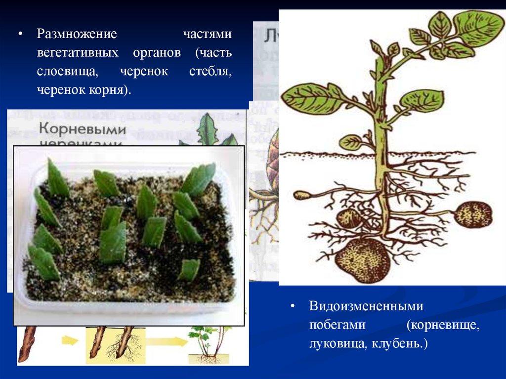 Размножение частями корня стебля