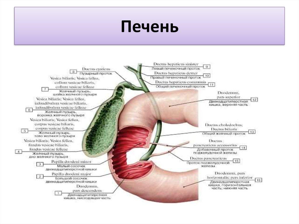 Анатомия пищеварительной системы - online presentation