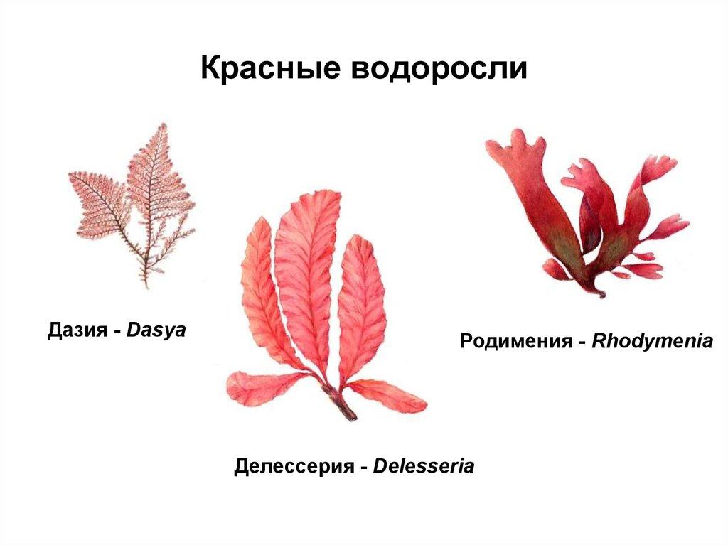 новых строение красной водоросли картинка для обнаружения