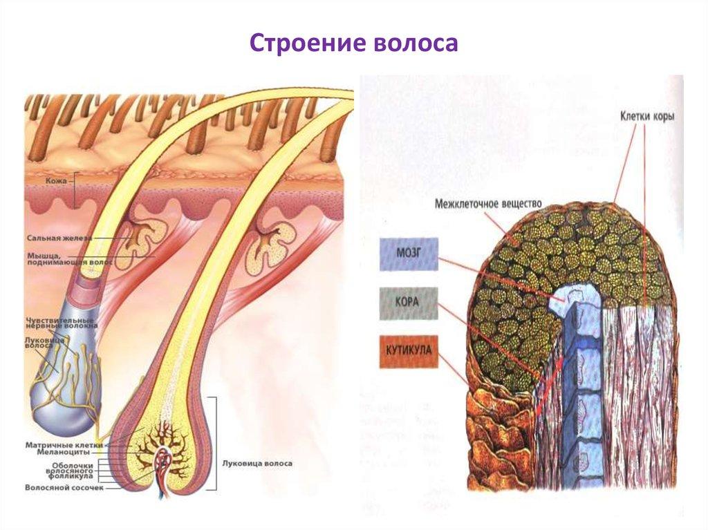 Структура волос в картинках