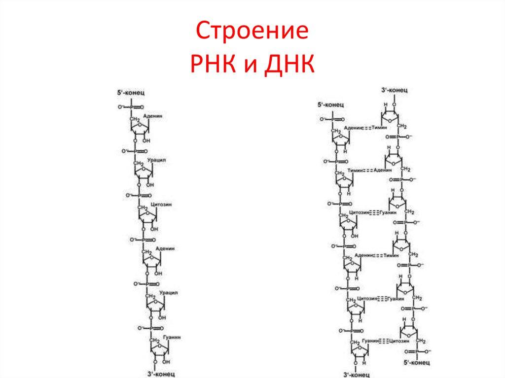 схема строения днк и рнк