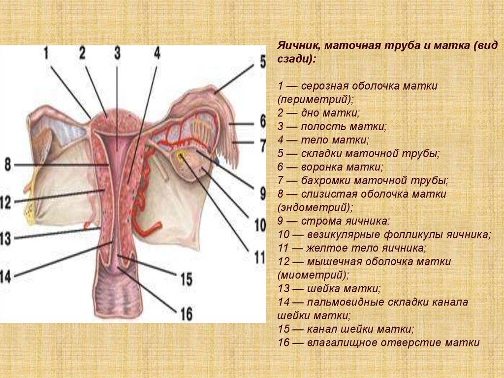 мышечная оболочка матки состоит из