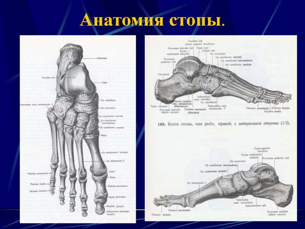 строение стопы фото рисунок схема кости смирнова талантливейшая актриса