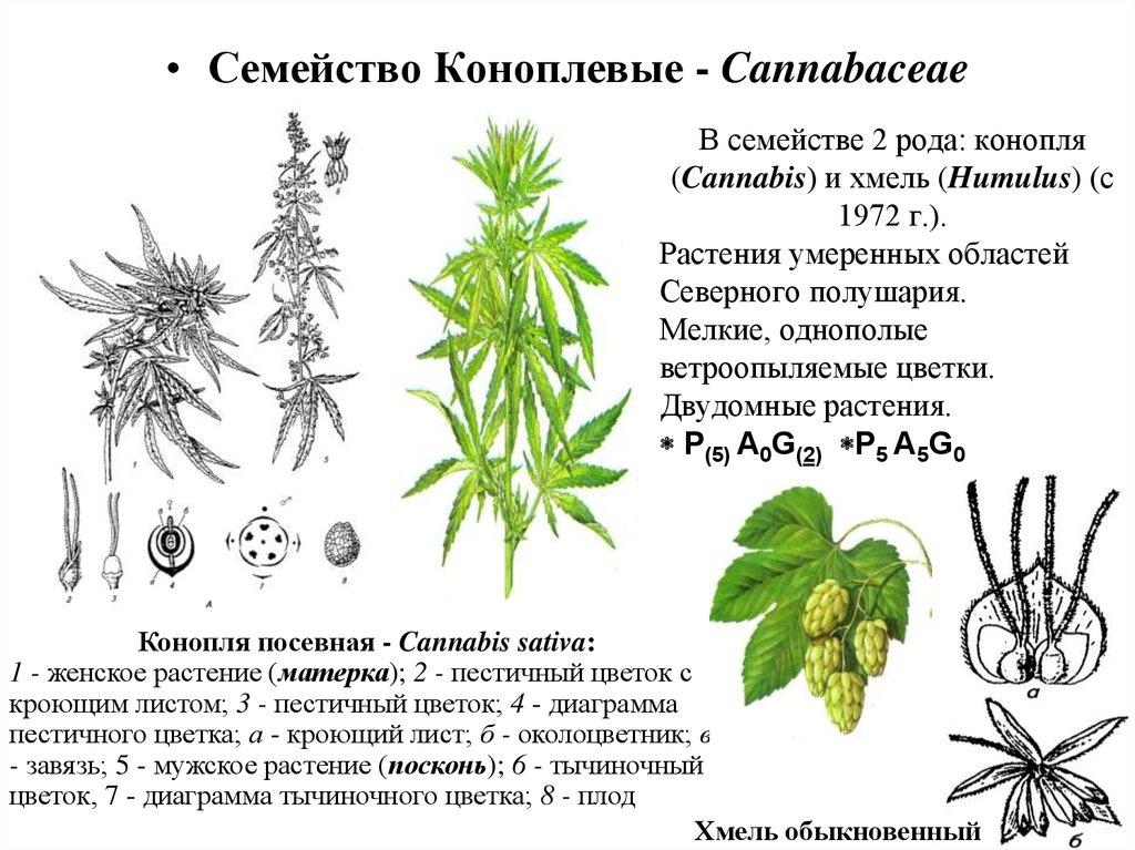 марихуана уругвай