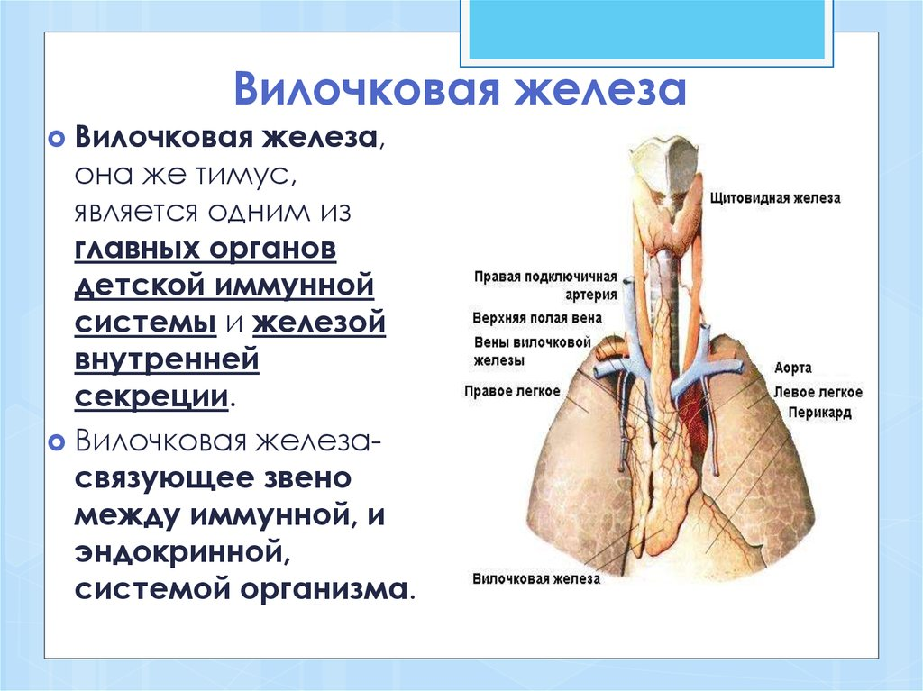 Вилочковая железа тимус функции
