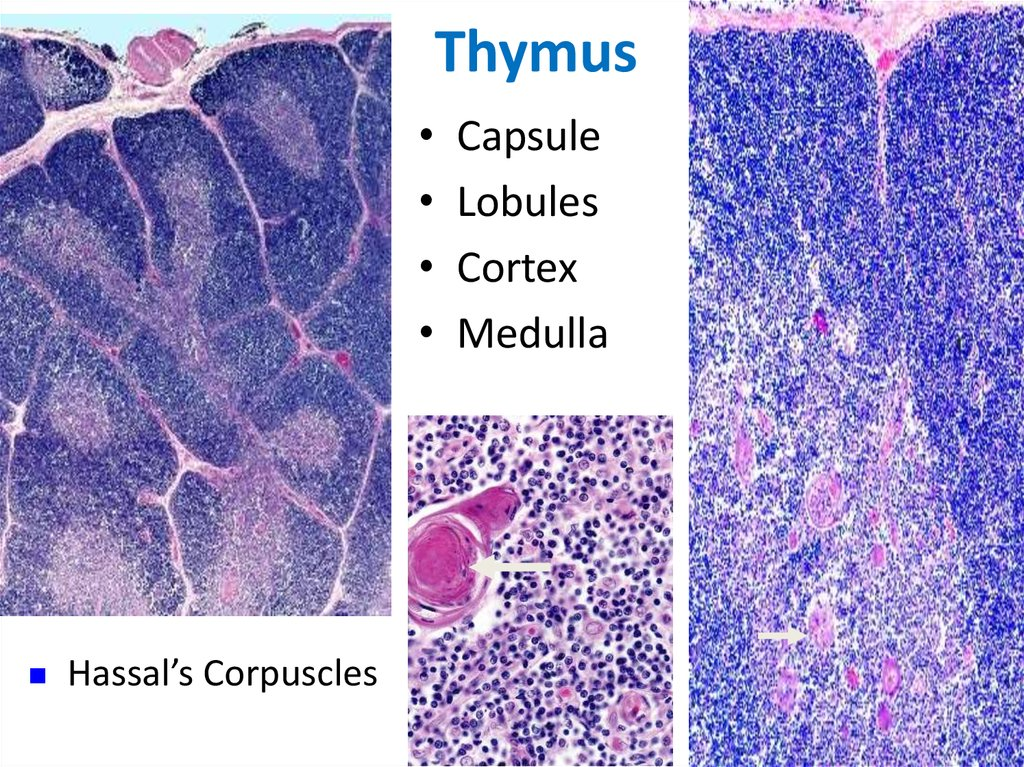Immune System Online Presentation