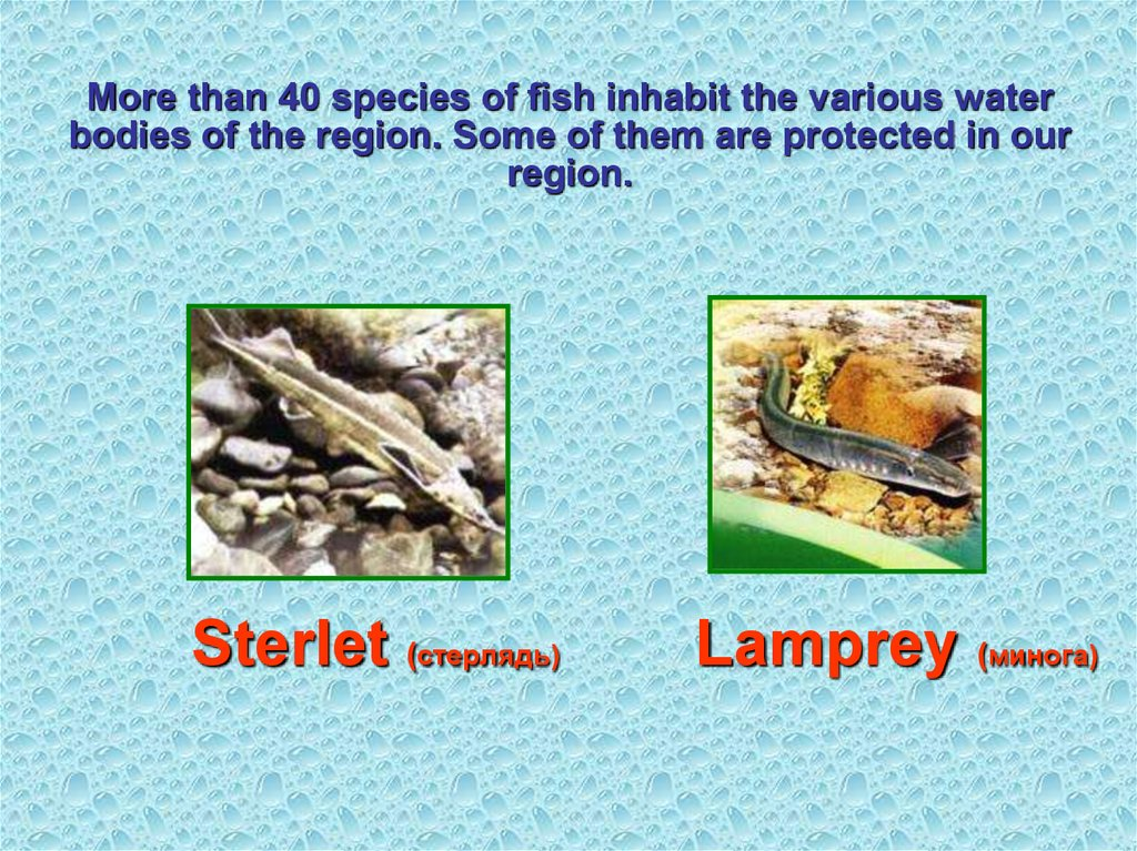 More than 40 species of fish inhabit the various water bodies of the region. Some of them are protected in our region.