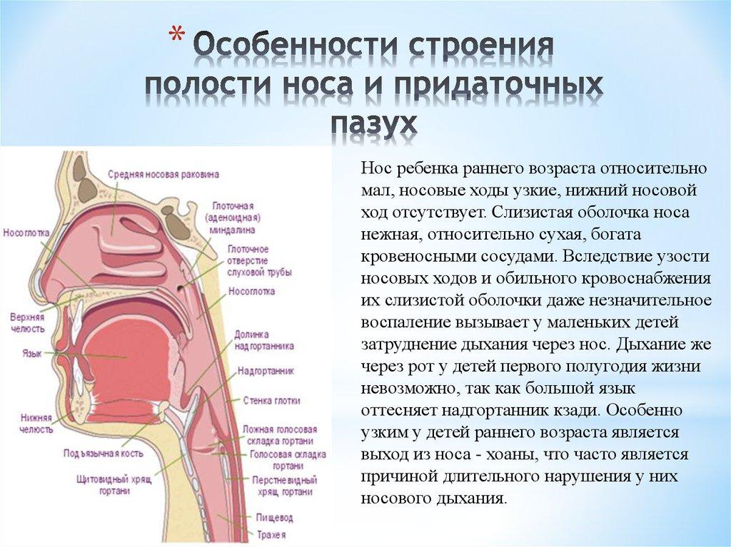 Особенности строения полости носа