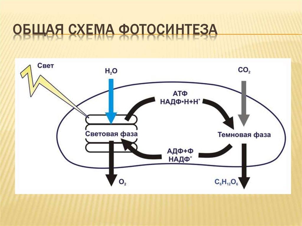 кажется, что схема процесса фотосинтеза предупреждают, что