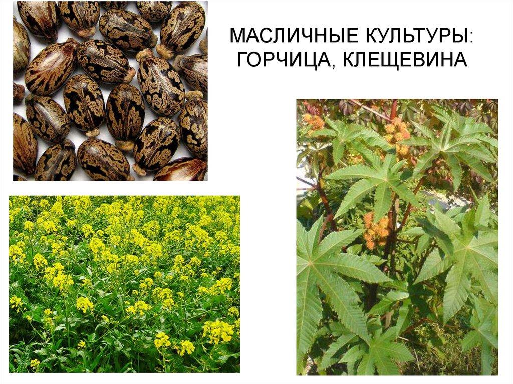 масличные растения фото и названия снеговик