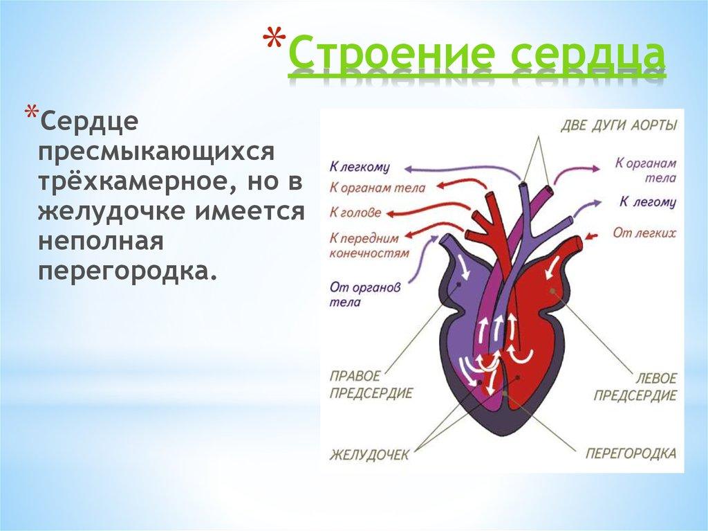 Сердце пресмыкающегося картинка
