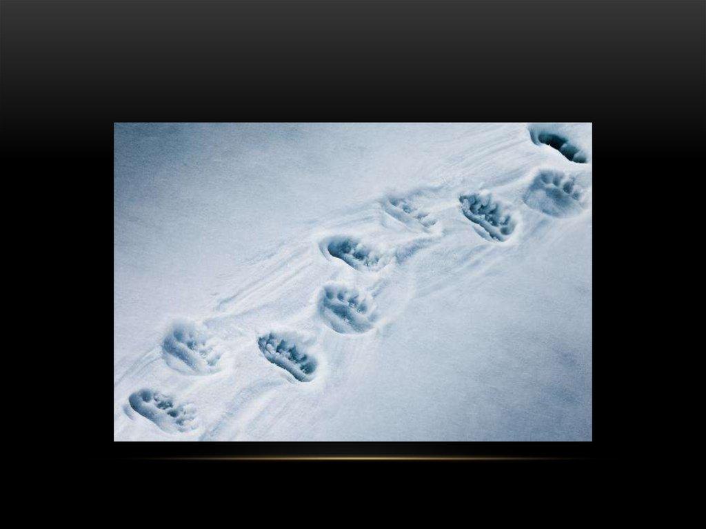следы росомахи на снегу фото замес части