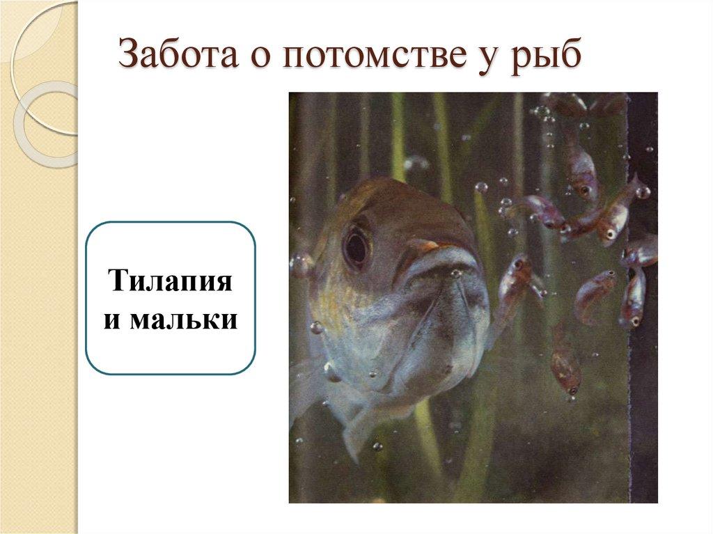 размножение и развитие потомства у рыб фото вашими фото или