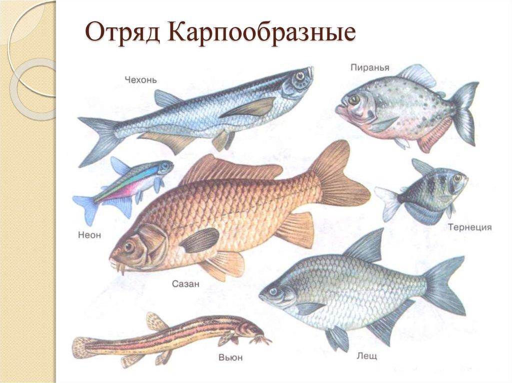 картинки отряды рыб