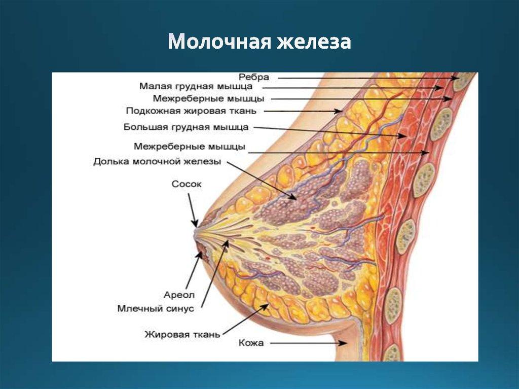 Женская молочная железа картинки