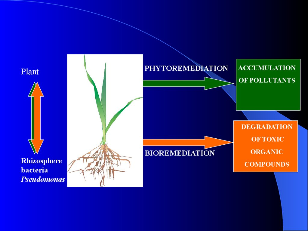 phytoremediation Slide 2: phytoremediation is an emerging technology which uses plants and their associated rhizospheric microorganisms to remove, degrade, or contain chemical contaminants located in the soil, sediments, groundwater, surface water, and even the atmosphere.