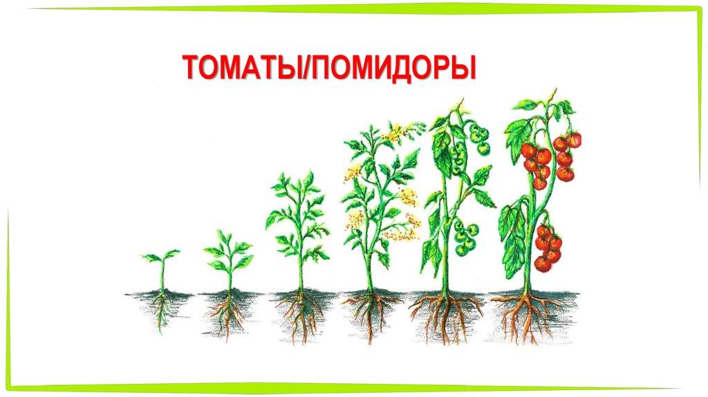 сделать этапы выращивания помидоров в картинках одного везения