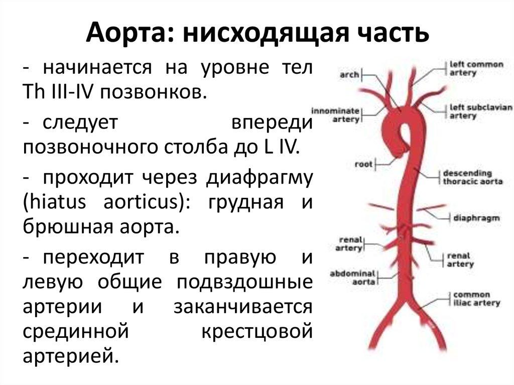 Нисходящая аорта картинки