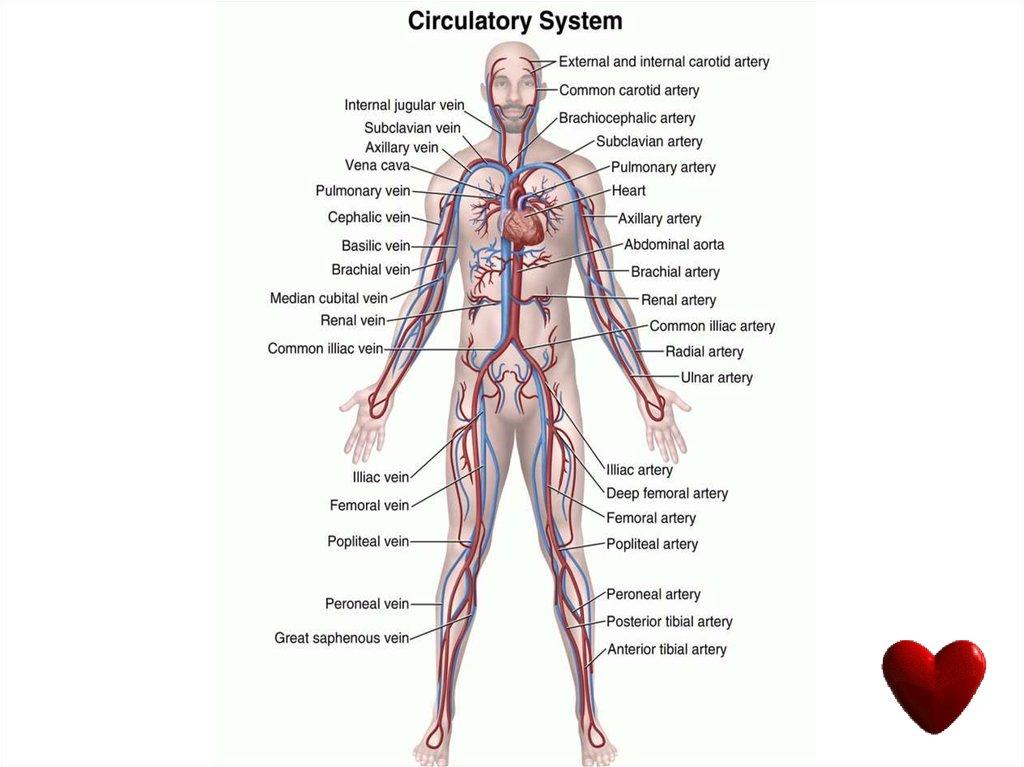Circulatory System Online Presentation