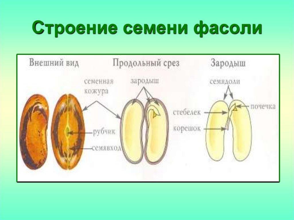 строение семени класс двудольные класс однодольные