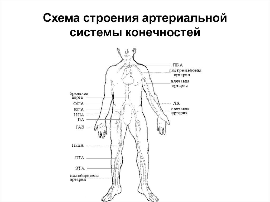 артерии строение в картинках