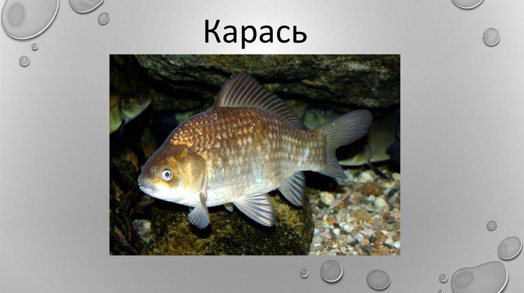 речные рыбы беларуси фото с названиями озимых