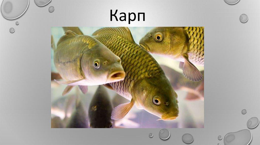 Рыбы белоруссии картинки