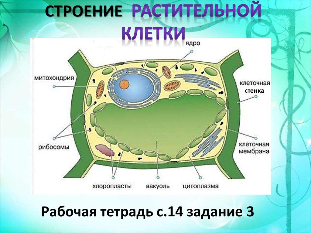 клетка растения названия почасовая