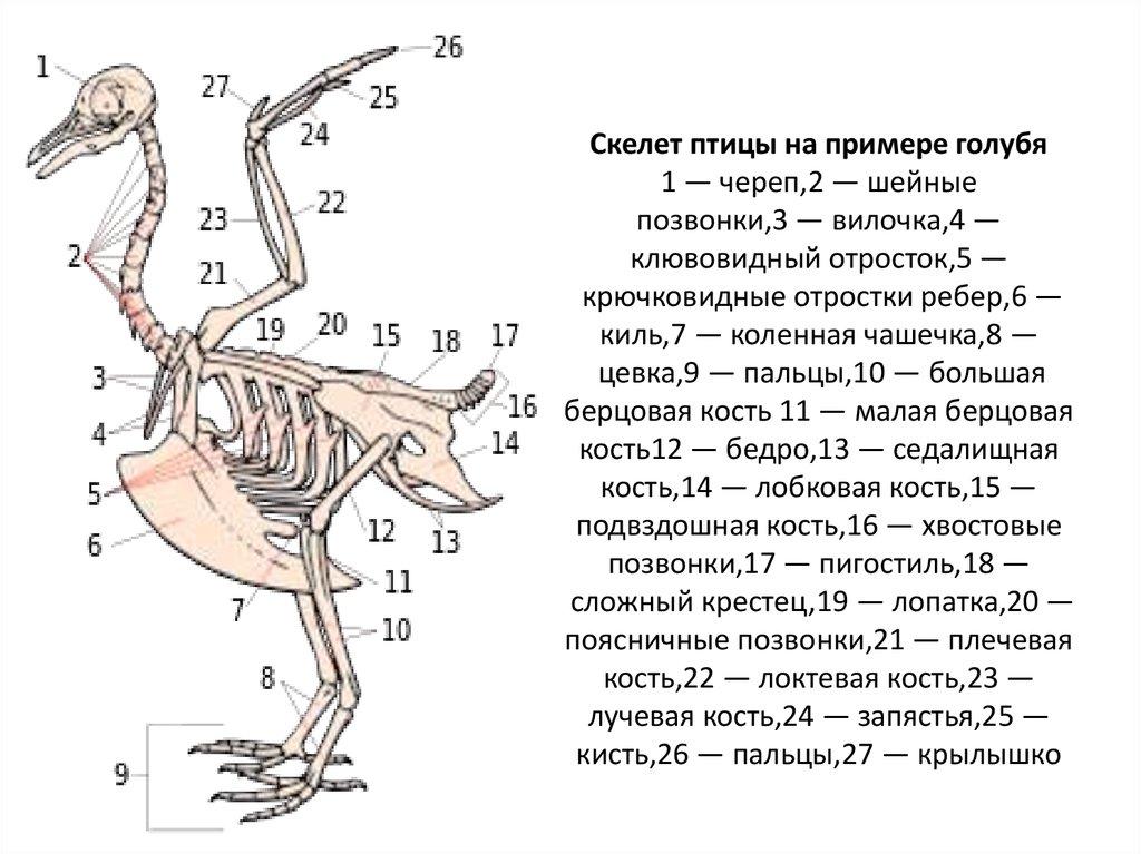 Картинки скелета птиц