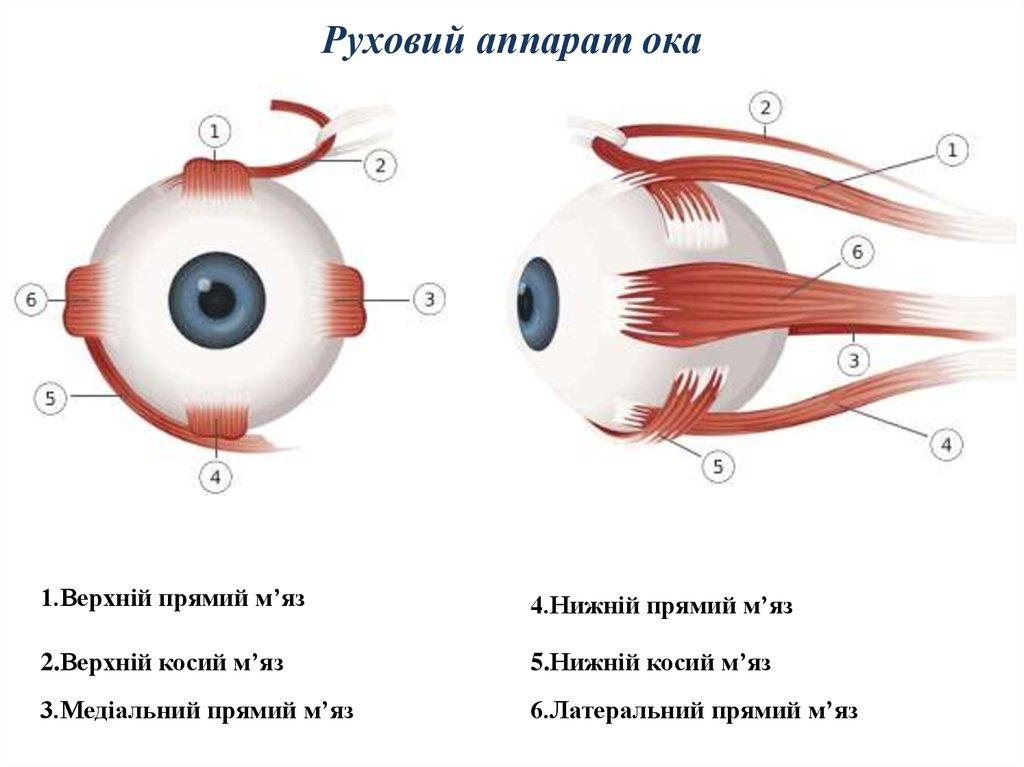 картинки для мышц глаз что приходит ум