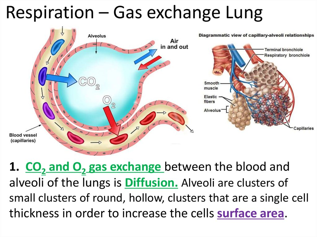 exchange of gasses Gas exchange is the process by which oxygen and carbon dioxide (the respiratory gases) move in opposite directions across an organism's respiratory membranes, between the air or water of the external environment and the body fluids of the internal environment.