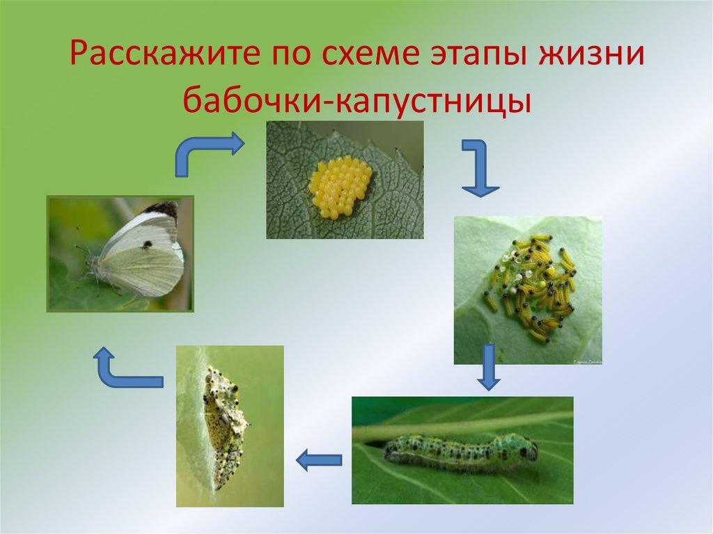 Бабочки-капустницы. Способы борьбы с бабочкой-капустницей | 767x1024