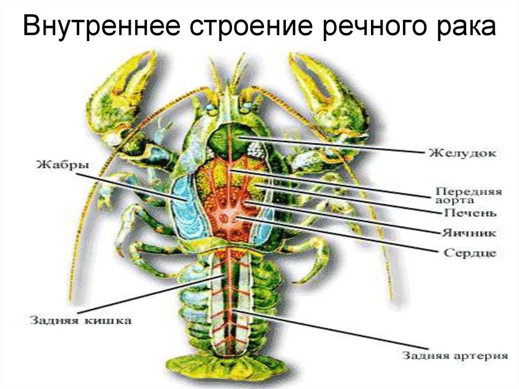 картинки внешнее строение речного рака тоже