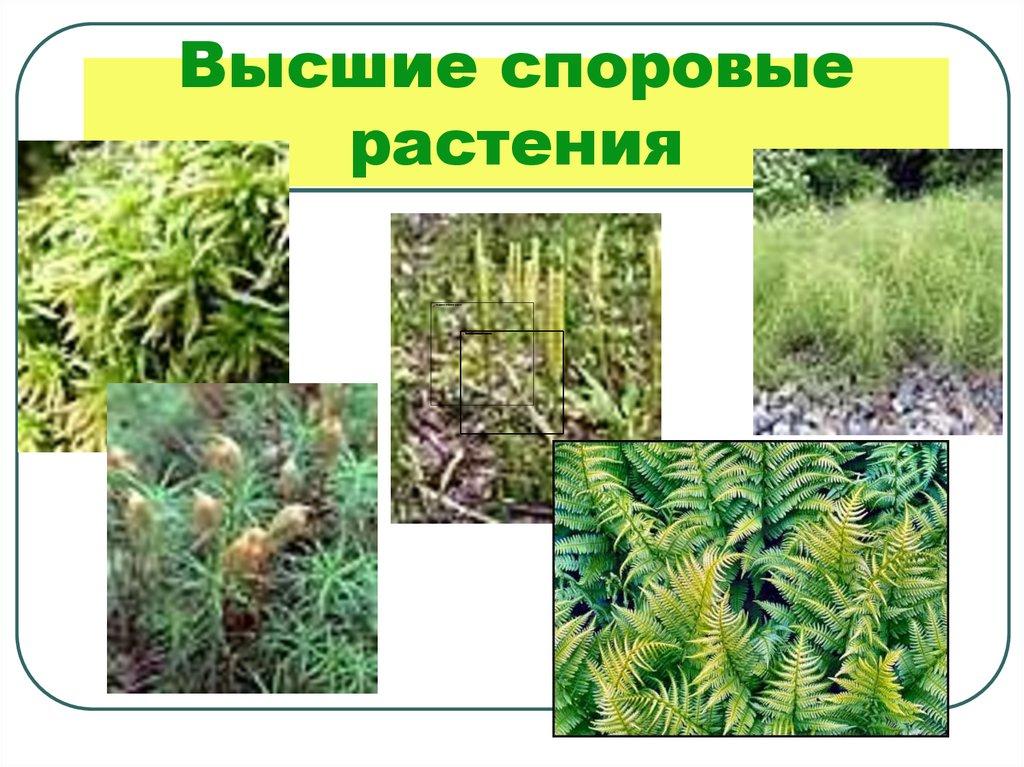 главная споровые растения примеры растений фото зависит