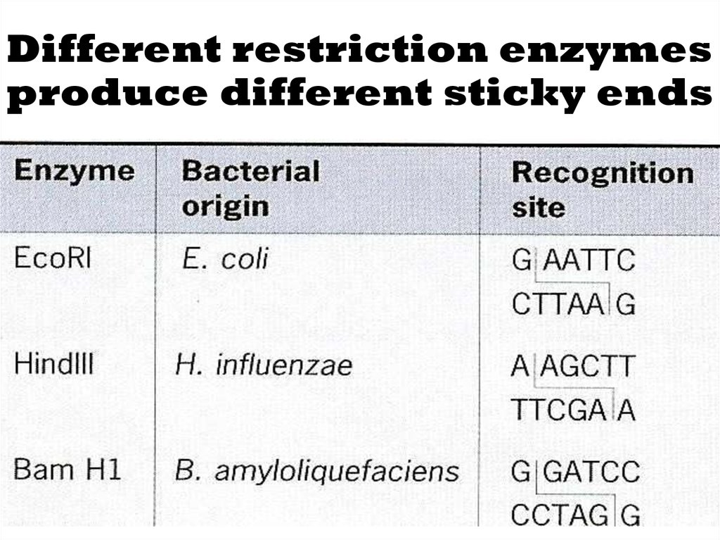 Different restriction enzymes produce different sticky ends
