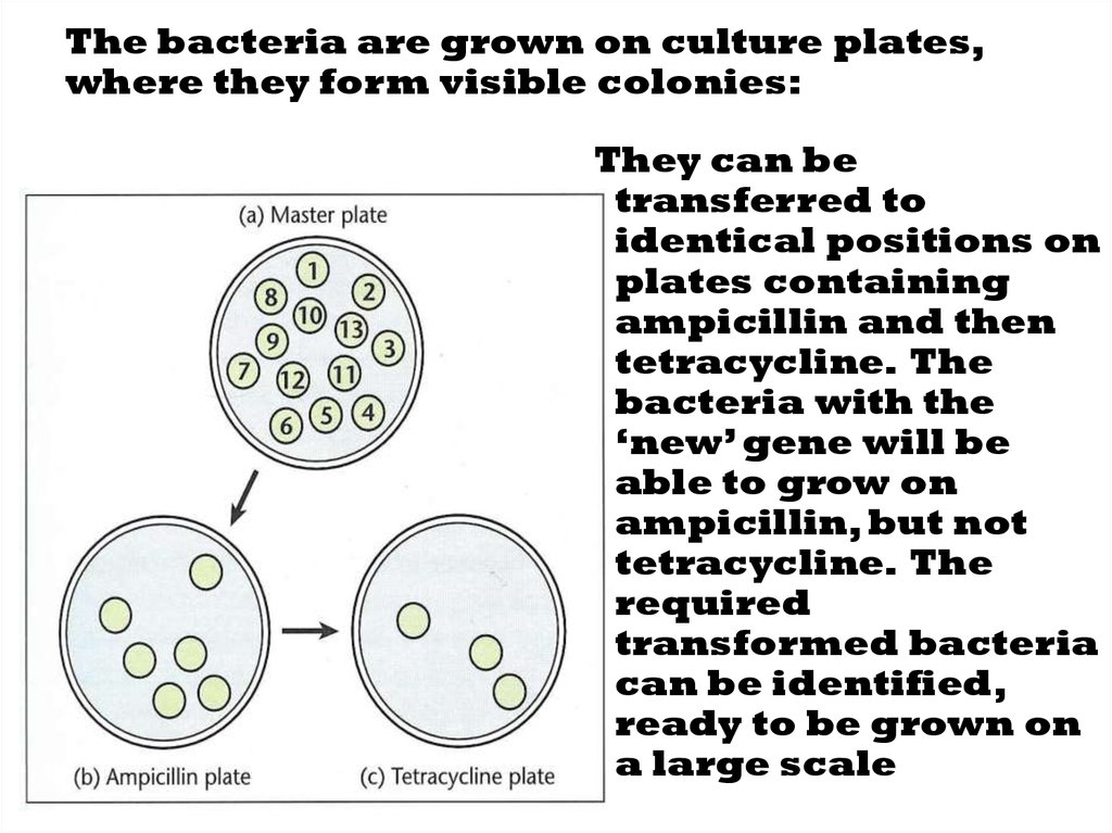 The bacteria are grown on culture plates, where they form visible colonies: