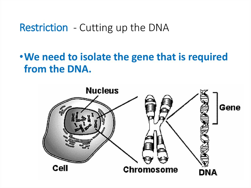 Restriction - Cutting up the DNA