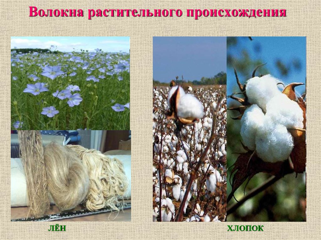 фотографии растений льна и хлопчатника пехота