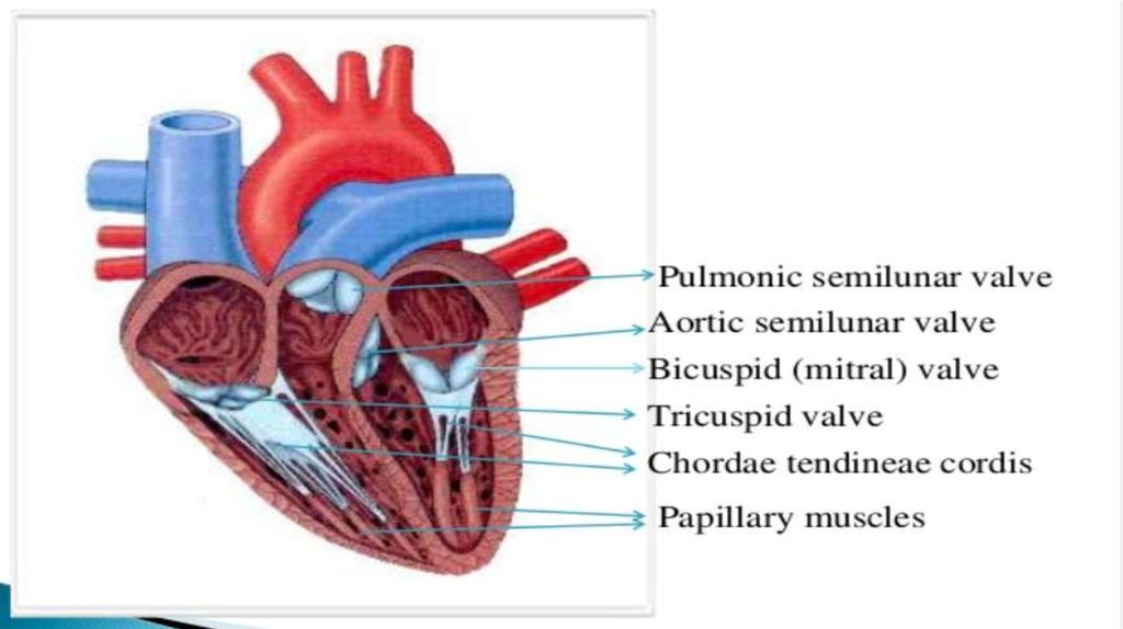 The cardiovascular system. Anatomy and physiology - online presentation