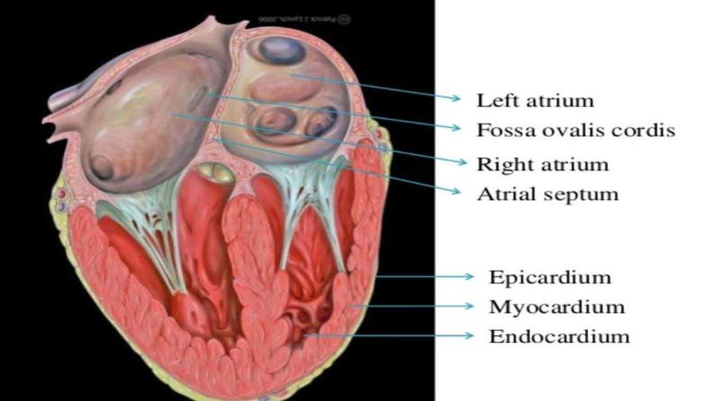 Anatomy and physiology: cardiovascular dynamics essay Custom paper ...