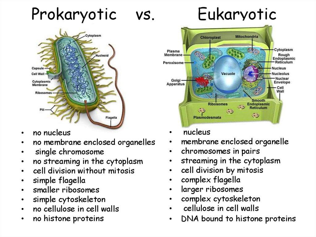 cell structures: prokaryotic & eukaryotic cells essay Eukaryotic cell vs prokaryotic cell: there are two types of cells found, that originate from a common ancestor - the prokaryotes and eukaryotes while prokaryotes are organisms without a cell nucleus and other membrane-bound organelles and are mostly unicellular, but some exceptions are found.