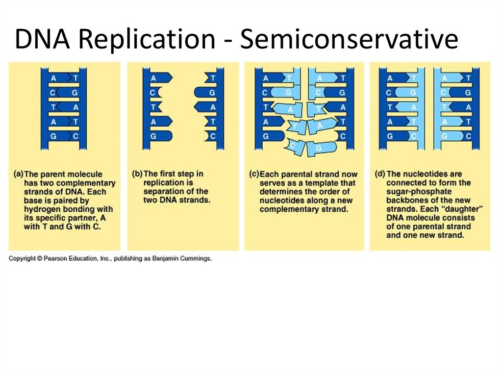 dna replication  rna structure  u0026 function  and compare dna