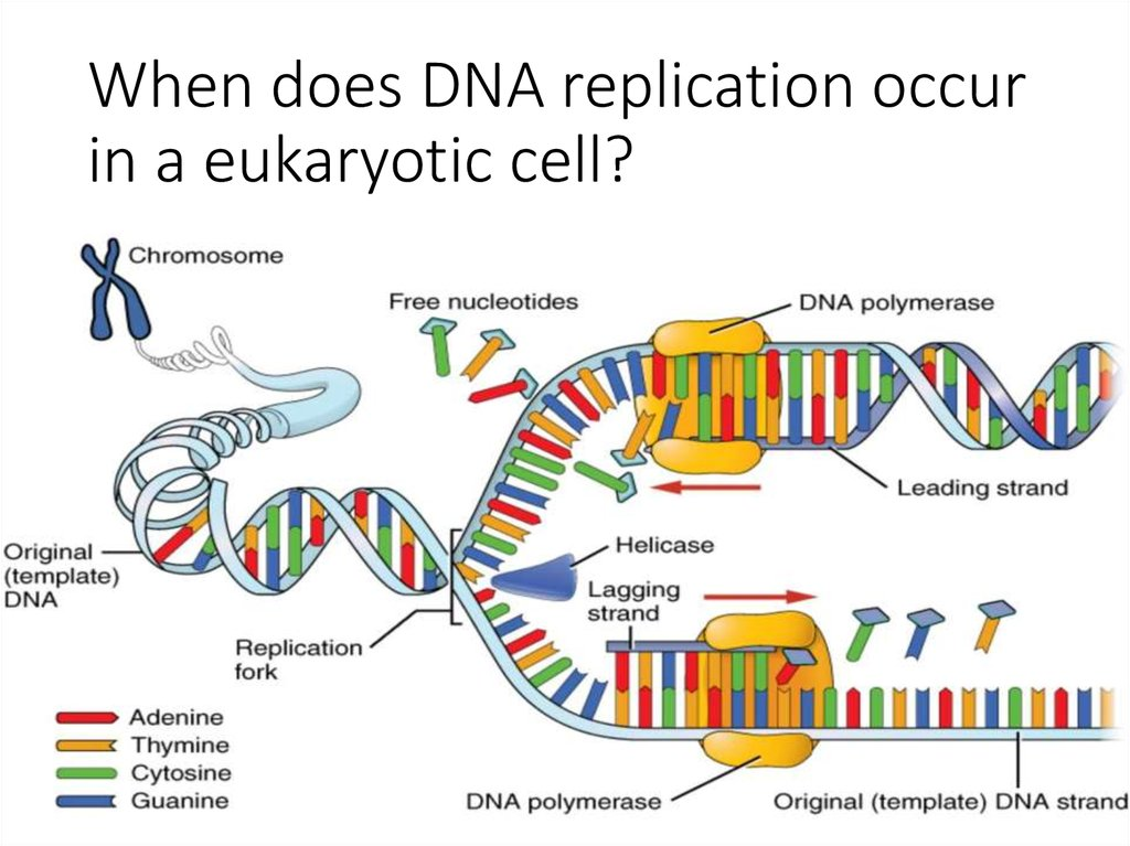 the advantages of dna replication Dna replication is a process of duplication of a copy of a dna molecule this process occurs in all living organisms in which it is used for metabolic function of every organism as a whole the evolution of dna replication has considered the following advantages: - it is semiconservative.
