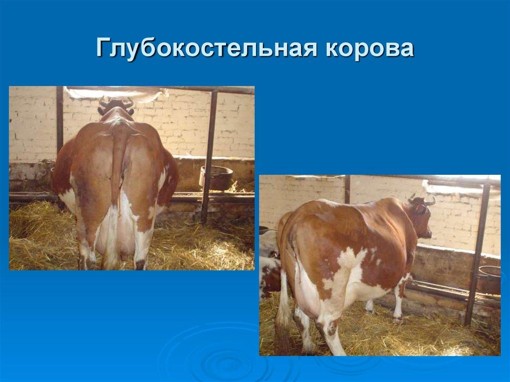 Вагинальное исследование беременных коров