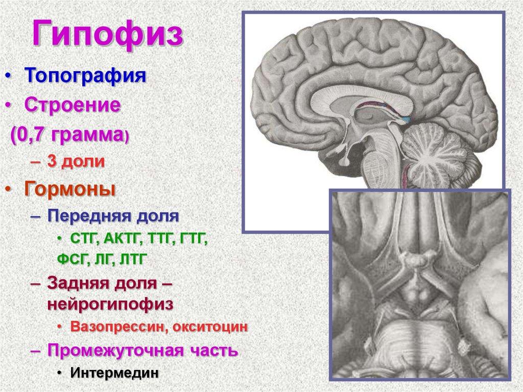 картинки гипофиза и эпифиза нижнем фото кронштейны