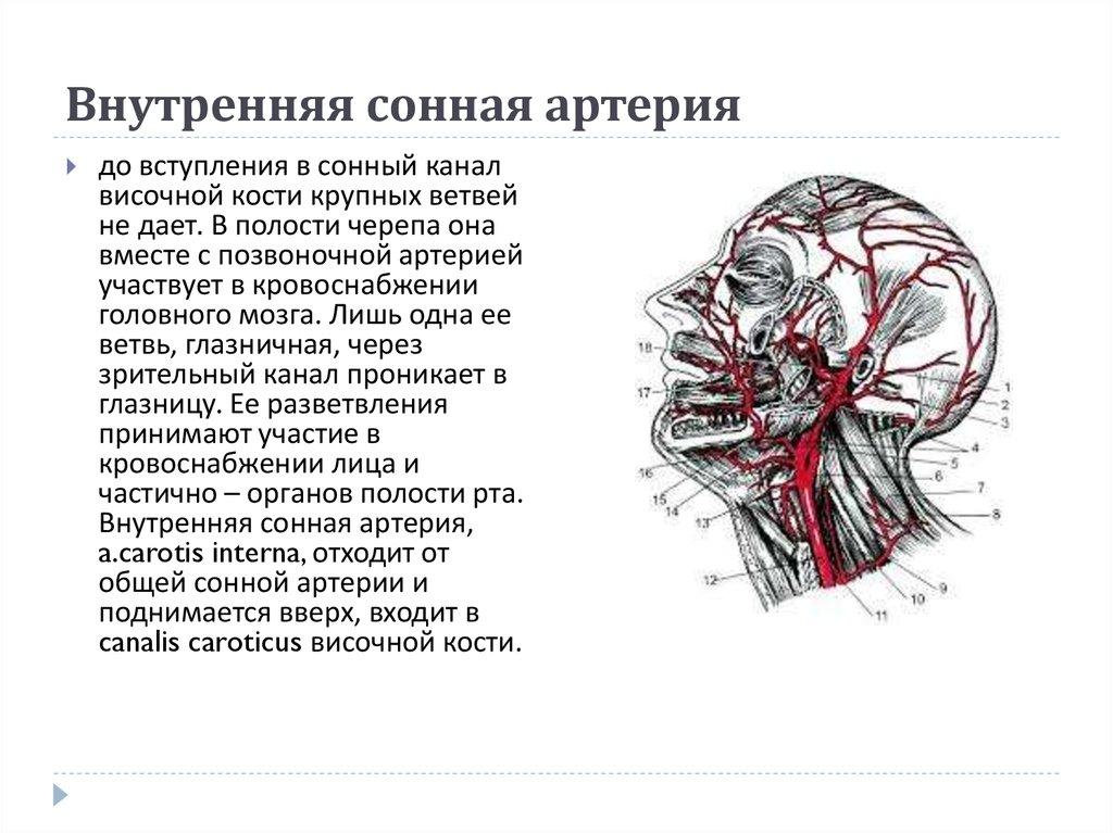 Внутренняя сонная артерия схема фото 580